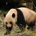 桂林旅行記2015 その13 桂林動物園のパンダ